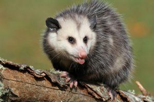 Southwest Florida - Opossum