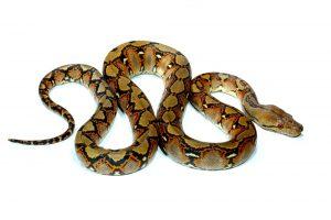 SW FL Snake