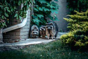SWFL - Raccoons