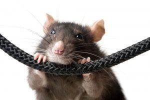 Southwest Florida Rodents