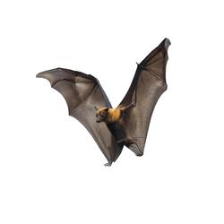 Florida Bat