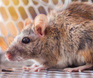 Florida Rat